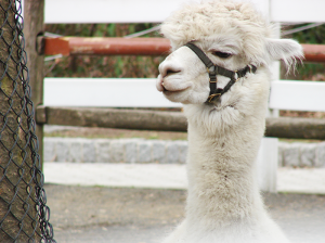 """A llama at Staten Island Zoo. Locals say they have """"the best little zoo in America."""""""