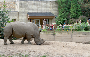 Bill, the rhino. He was born at the Knoxville Zoo in Tennessee in 2004 and came to Seneca Park Zoo in 2007. Courtesy of Ron Kalasinskas.