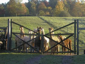 Alpacas peek through a fence at Lazy Acre in Bloomfield.
