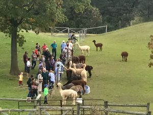 Each year, thousands of visitors come to Lazy Acre Alpacas to meet some of the 65 adult alpacas and 12 crias.