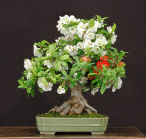 Sample of bonsai tree maintained by Bill Valavanis.